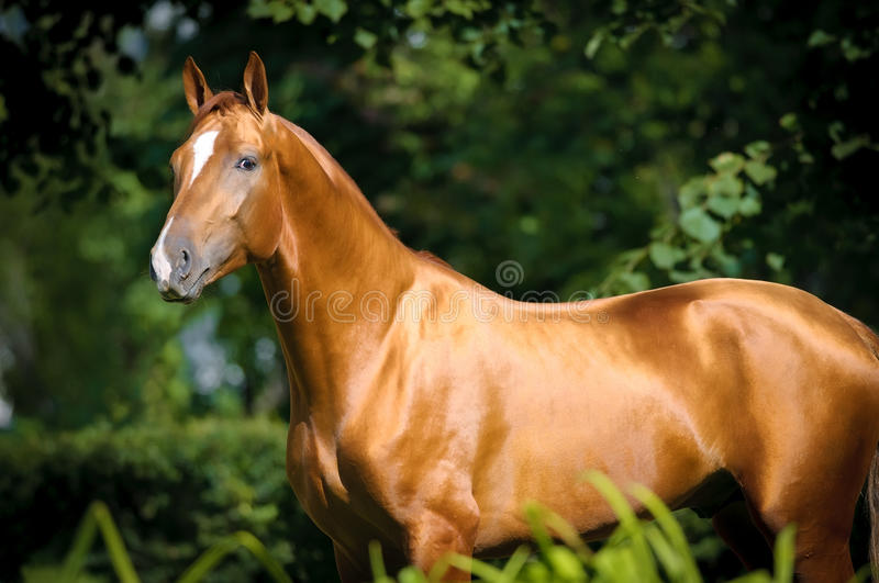 Beautiful golden red Don horse portrait. In summer stock image