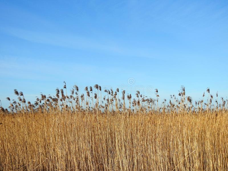 Reed plant sunny day, Lithuania stock image