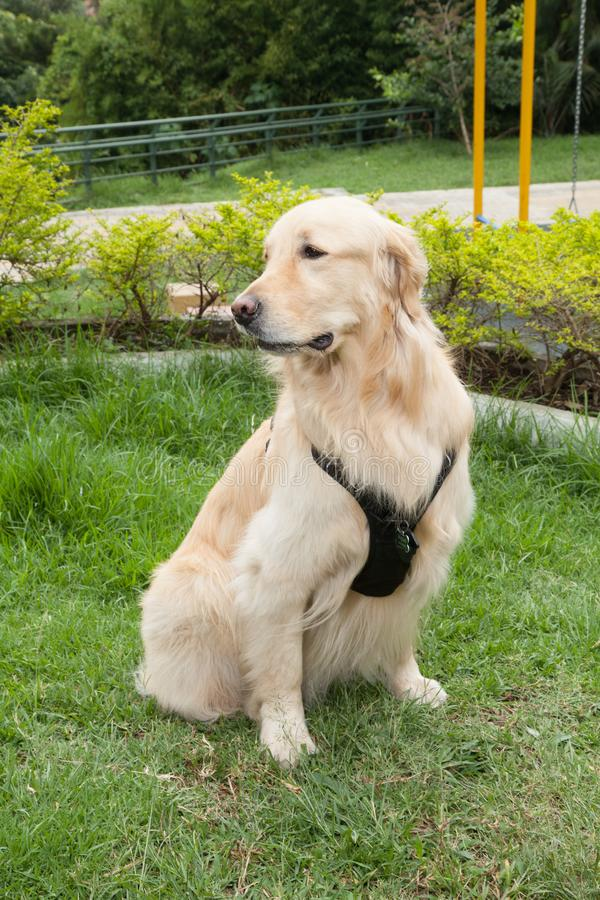 Beautiful golden retriever breed bitch in the park. Golden retrievers or golden collectors are dogs with a desire to please and respond positively to obedience stock photography