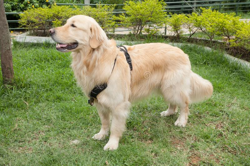 Beautiful golden retriever breed bitch in the park. Golden retrievers or golden collectors are dogs with a desire to please and respond positively to obedience stock image