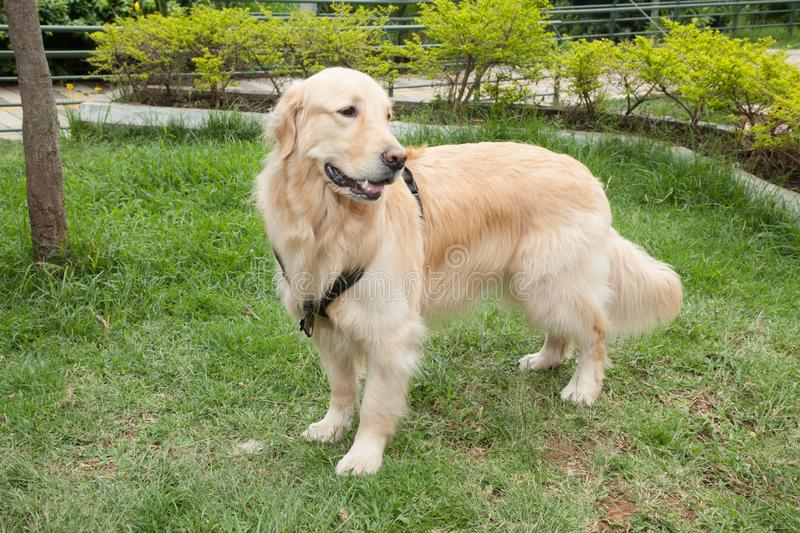 Beautiful golden retriever breed bitch in the park. Golden retrievers or golden collectors are dogs with a desire to please and respond positively to obedience royalty free stock photos
