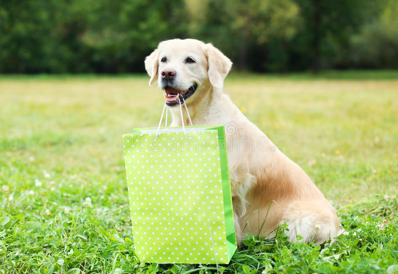 Beautiful Golden Retriever dog holding green shopping bag in teeth on grass in summer. Day stock photo