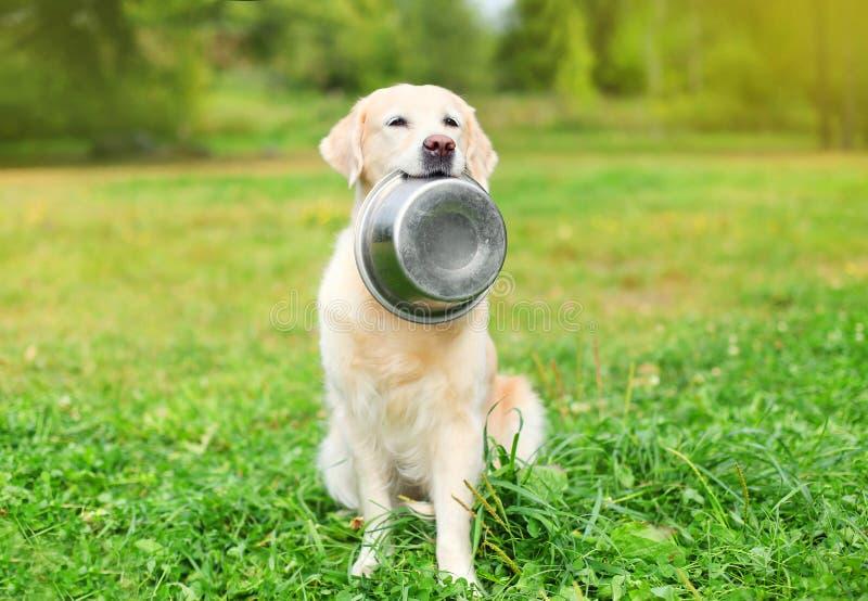 Beautiful Golden Retriever dog holding in teeth bowl on grass stock photos