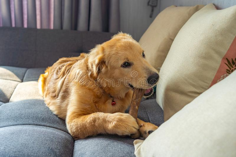 Beautiful golden retriever puppy chewing a bone on sofa royalty free stock photo
