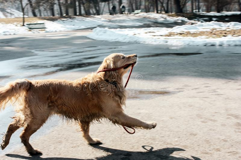 Beautiful golden retriever puppy holding its leash happy in the winter stock photography