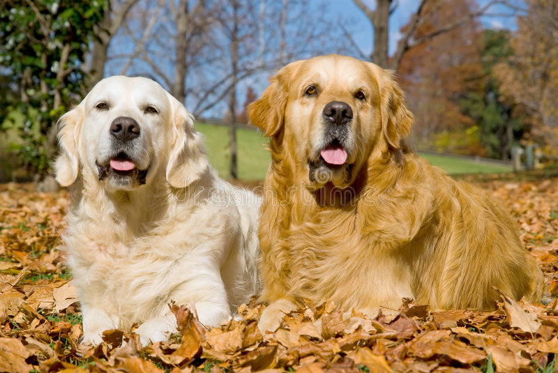 Beautiful Golden Retrievers lying down royalty free stock images