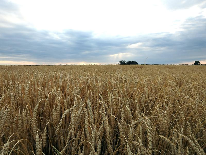Ripe wheat grains in field, Lithuania royalty free stock photo