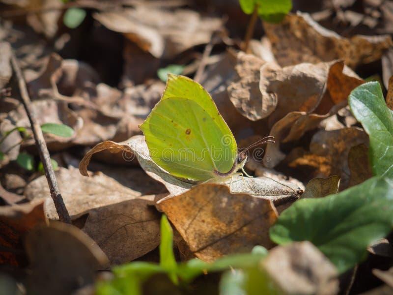 Gonepteryx rhamni common brimstone sitting on a ground. Beautiful Gonepteryx rhamni common brimstone sitting on a ground on a sunny spring day royalty free stock photo