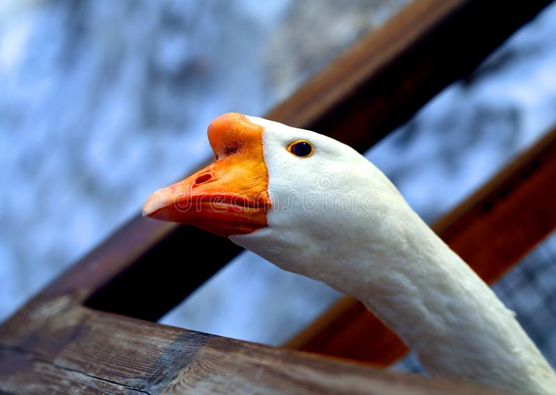 Beautiful Goose birds with open eye photographed. Beautiful Goose with open eye photographed close-up royalty free stock image