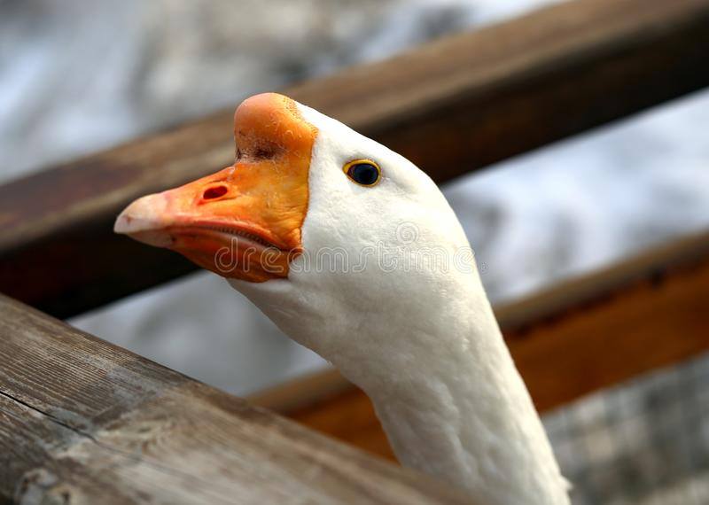 Beautiful Goose birds with open eye photographed. Beautiful Goose with open eye photographed close-up royalty free stock images