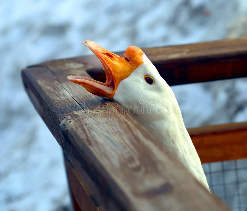 Beautiful goose with an open beak photographed. Close-up stock photo