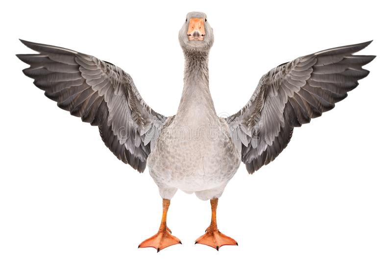 Beautiful goose stands with wings spread. Isolated on a white background royalty free stock photography