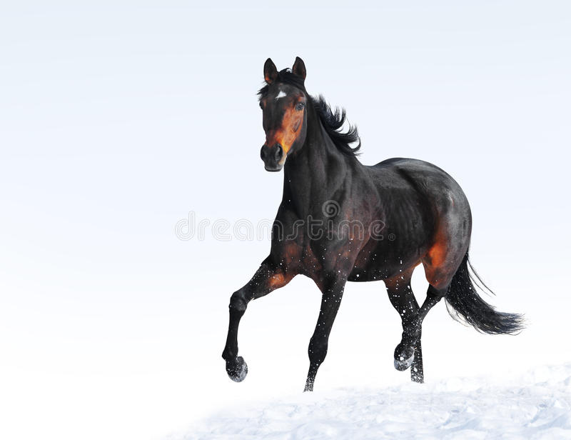 beautiful graceful horse running in snow isolated on white background royalty free stock photography