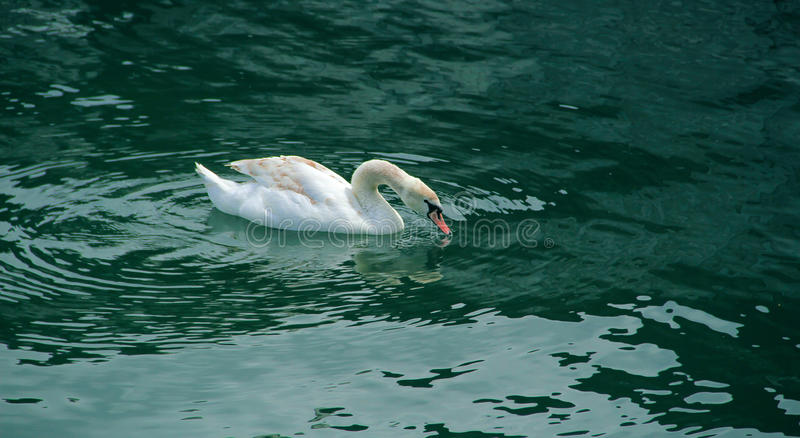 Download Beautiful Graceful Swan On The Blue Clear Water Stock Photo - Image: 83722473