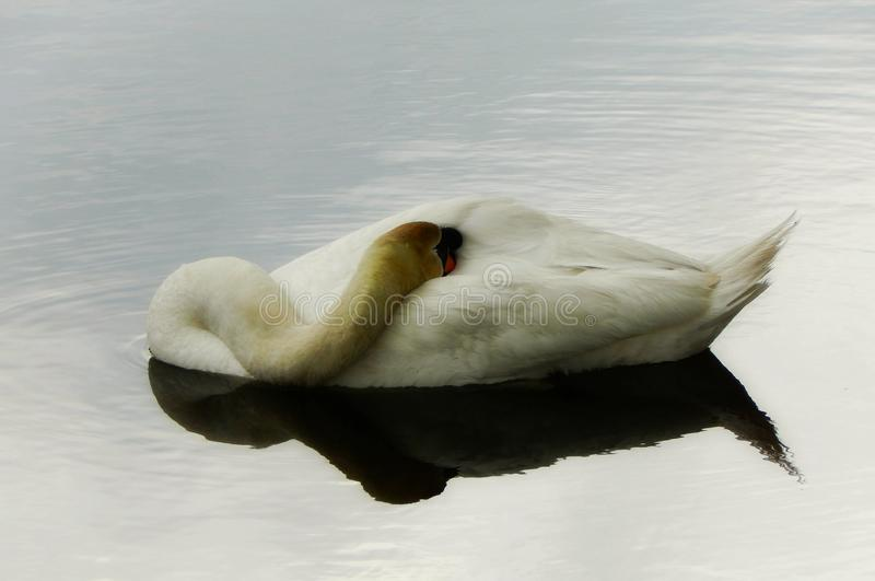 Mute Swan Sleeping On The Water. Beautiful and graceful white Mute Swan resting on the water in a river during a peaceful and quiet time