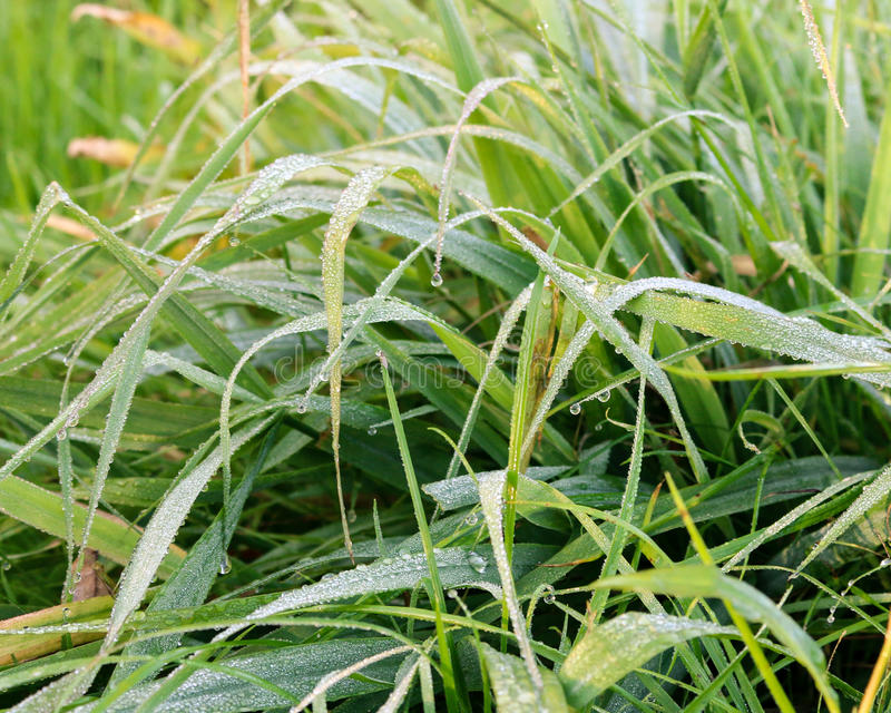 Beautiful grass with dew royalty free stock images