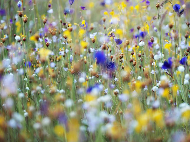 Beautiful grass flower in the field royalty free stock images
