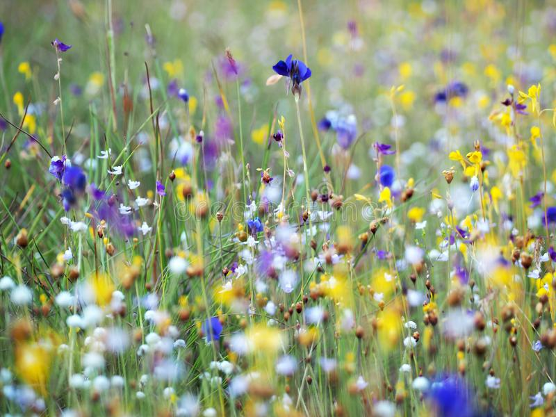 Beautiful grass flower in the field royalty free stock photography