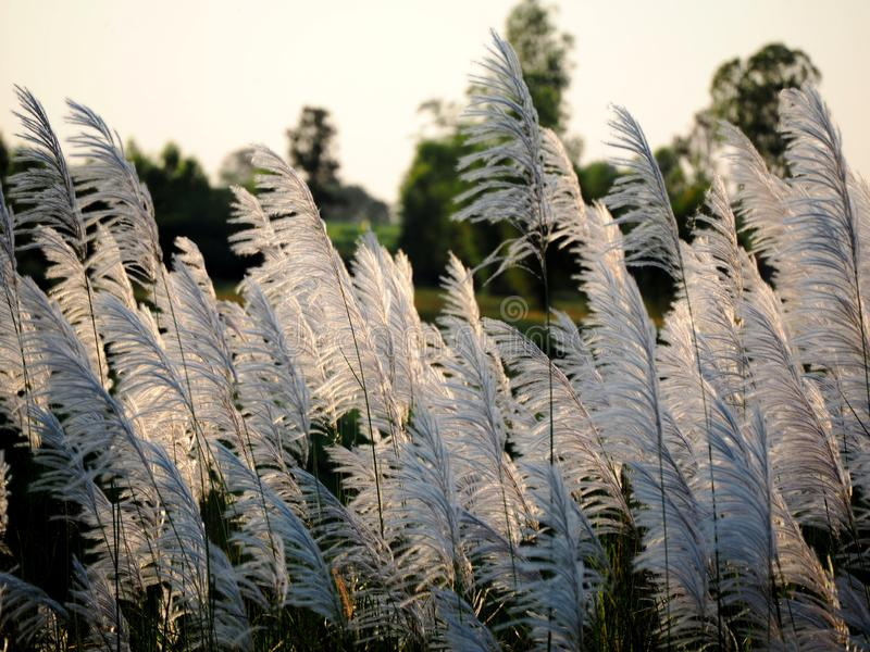 Beautiful grass flower in the field stock photos