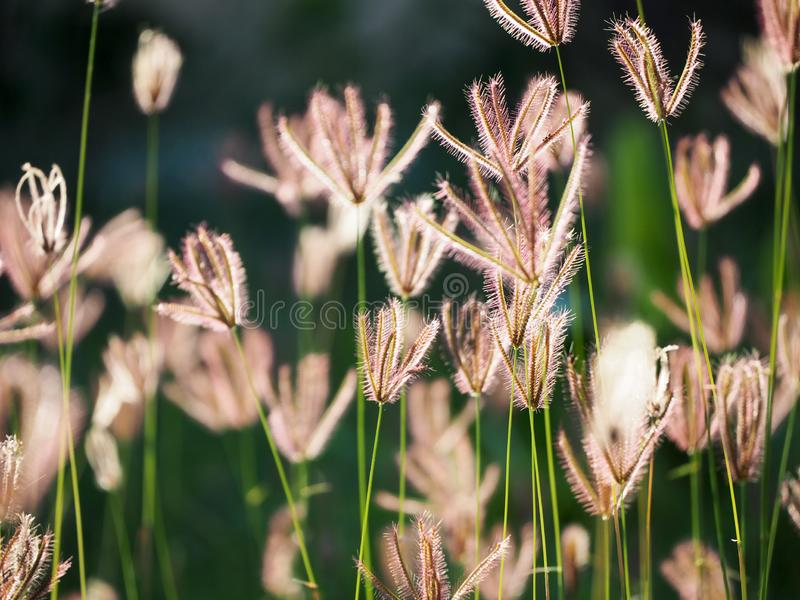 Beautiful grass flower in the field royalty free stock photos
