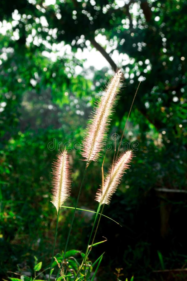 Grass flowers in garden. stock image