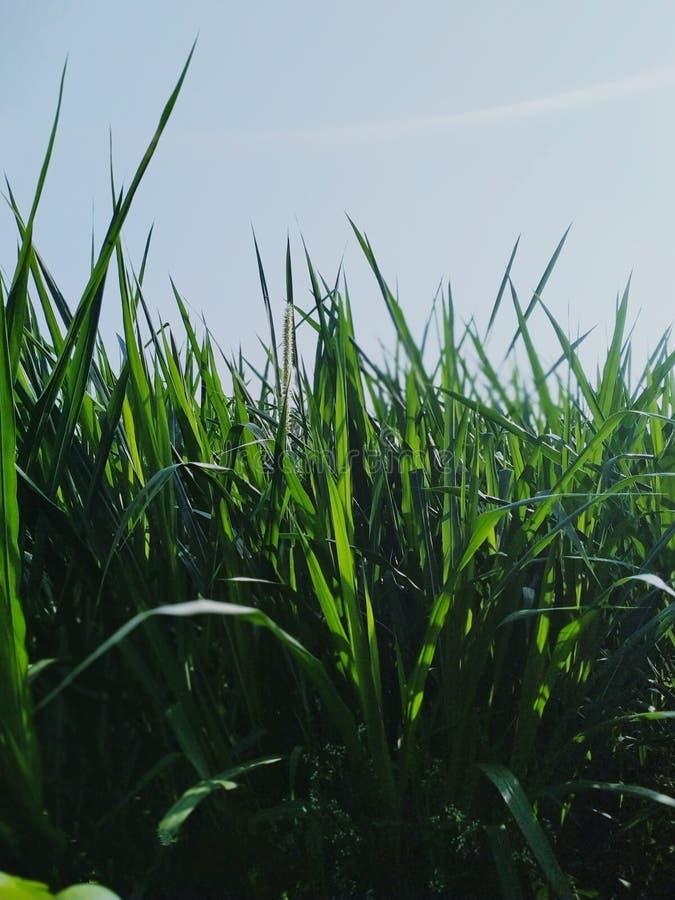 Beautiful grass at royalty free stock photography