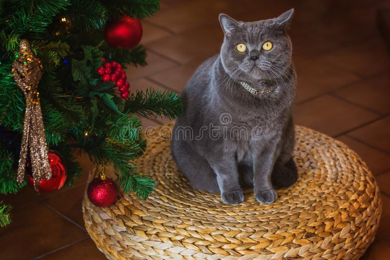 Beautiful gray British shorthair cat in a silver collar on the background of the Christmas tree with bokeh lights sitting on a royalty free stock photo