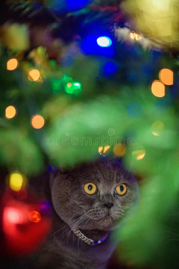Beautiful gray British shorthair cat with yellow eyes in a silver collar is sitting under the glowing christmas tree. Looking for presents. Face stock images