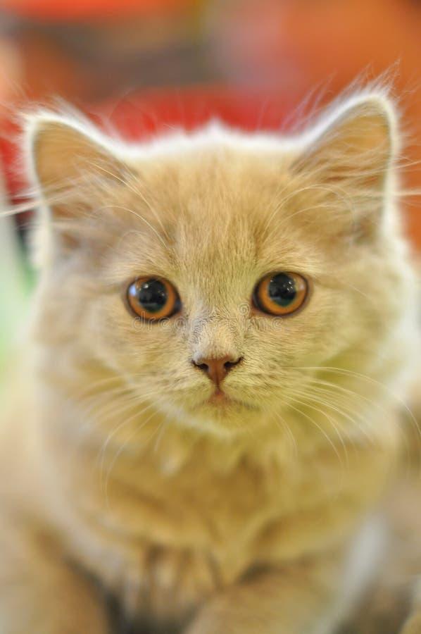 Beautiful gray cat royalty free stock photo
