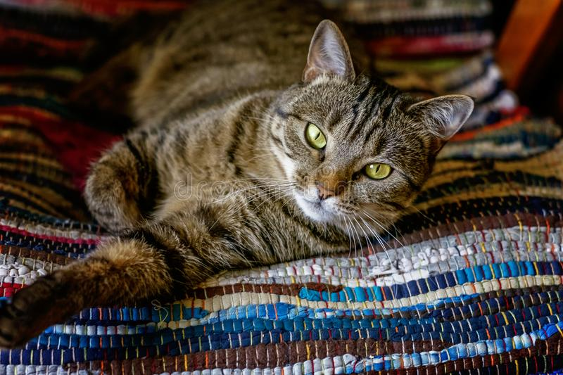 Beautiful gray cat lying on carpet. Arrogant short-haired domestic beautiful tabby cat lying on the fluffy striped carpet. Pet care and animals concept royalty free stock image