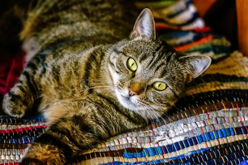 Beautiful gray cat lying on carpet. Arrogant short-haired domestic beautiful tabby cat lying on the fluffy striped carpet. Pet care and animals concept stock photos