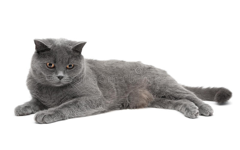 Beautiful gray cat lying on a white background. Horizontal photo.  royalty free stock photography