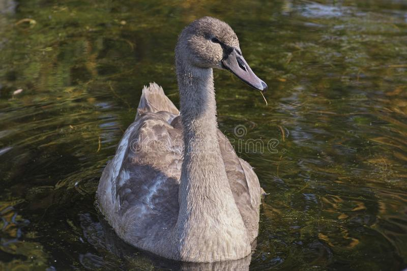 Beautiful gray colored Cygnus olor mute swan, Hockerschwan juvenile swimming in the lake on a warm and sunny autumn day with wat stock photography