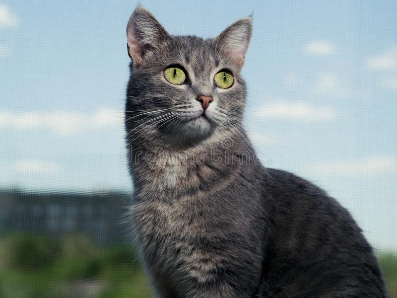 A beautiful gray green-eyed cat with black and white stripes sits on the windowsill and looks a a little higher than the royalty free stock images