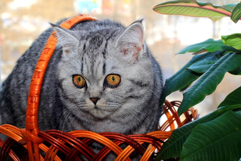 A beautiful gray kitten with yellow eyes sits in a basket near the flower. royalty free stock image