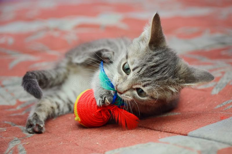 Beautiful gray mongrel kitten playing with a toy. Close-up royalty free stock photos
