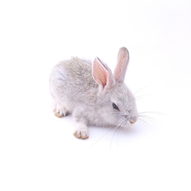 Beautiful gray rabbit with white background stock photo