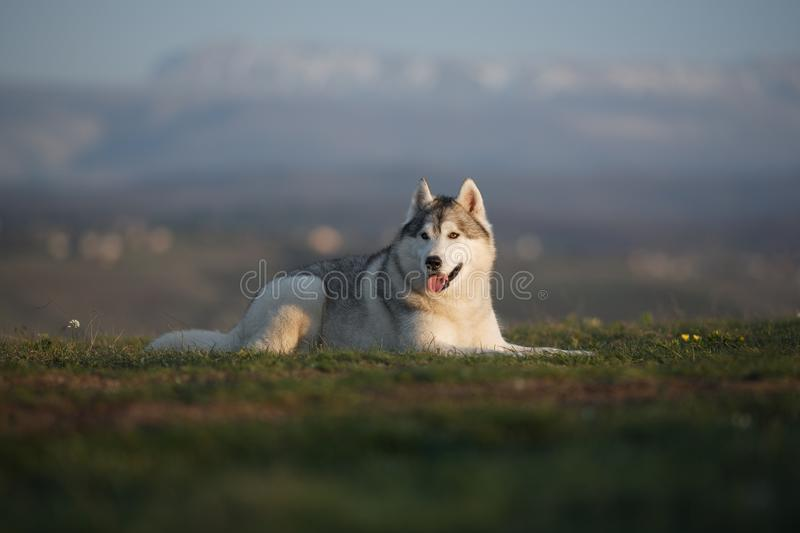 Beautiful gray Siberian Husky lies in the green grass against the backdrop of mountains. royalty free stock photos