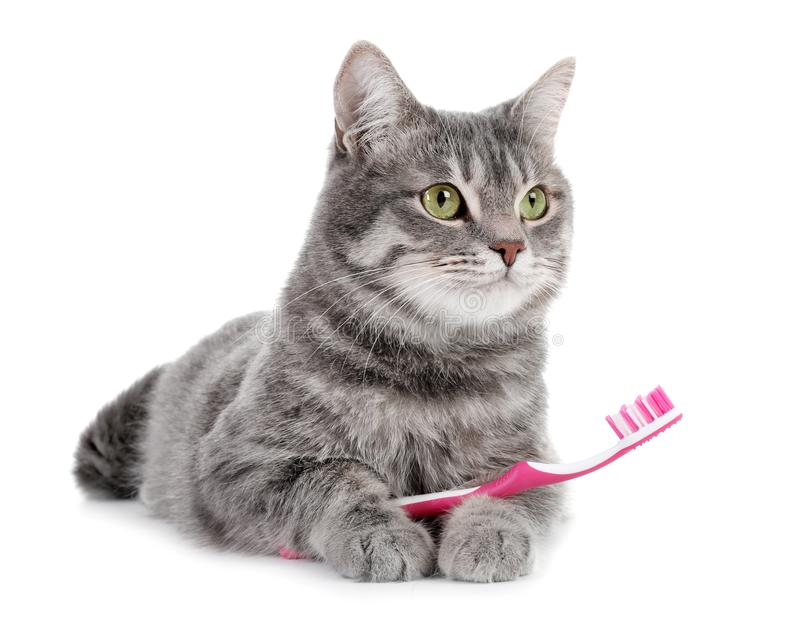Beautiful gray tabby cat with toothbrush. On white background stock photo