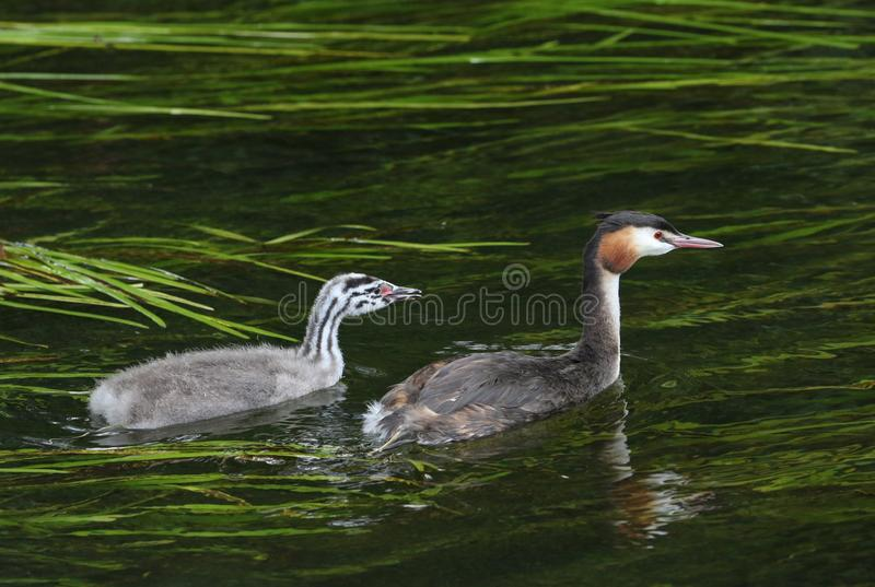 A beautiful Great crested Grebe, Podiceps cristatus, and its cute baby swimming in a fast flowing river. royalty free stock photo