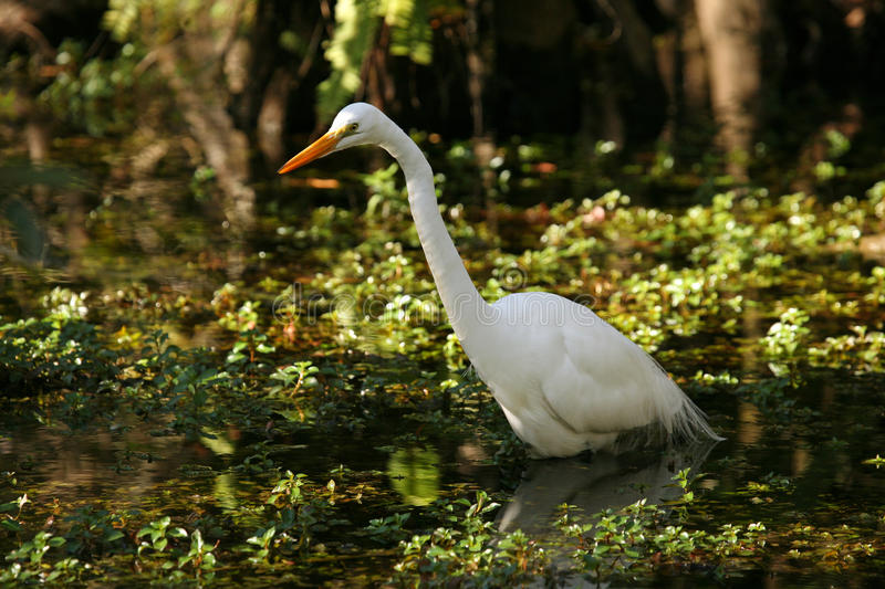 Beautiful Great Egret in Florida Everglades stock images