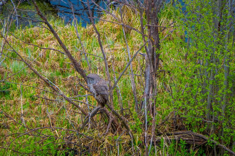 Beautiful great horned owl, Bubo virginianus posing over a branch in a tree in the forest in Yellowstone National Park royalty free stock image