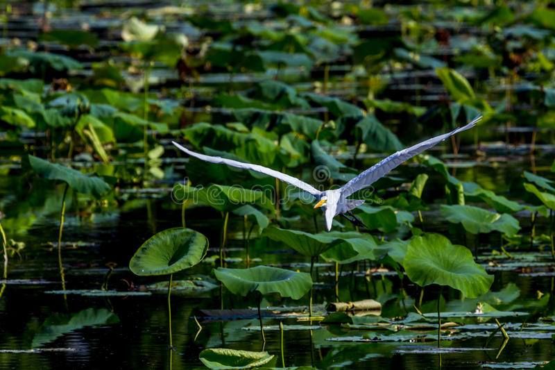 A Beautiful Great White Egret in Flight Among Lotus Water Lilies. (Ardea alba), Out Hunting for a Meal, at 40 Acre Lake at Brazos Bend, Texas royalty free stock photos