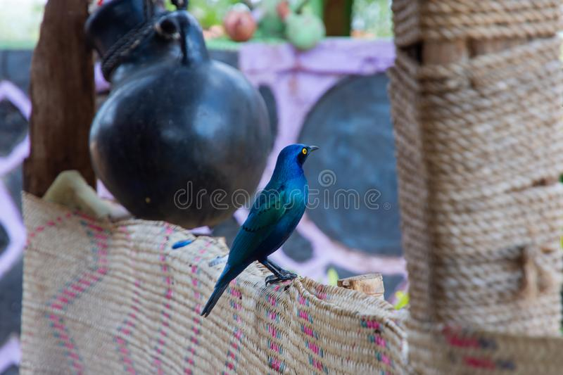 Beautiful Greater blue-eared starling bird, Ethiopia. Wildlife, nature, feather, animal, african, beak, yellow, eyes, fauna, fence, south, birds, avian royalty free stock images