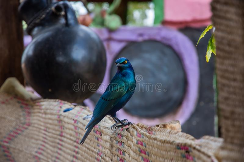 Beautiful Greater blue-eared starling bird, Ethiopia. Wildlife, nature, feather, animal, african, beak, yellow, eyes, fauna, fence, south, birds, avian stock photography