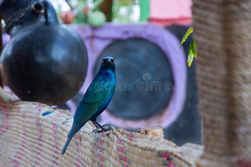 Beautiful Greater blue-eared starling bird, Ethiopia. Wildlife, nature, feather, animal, african, beak, yellow, eyes, fauna, fence, south, birds, avian royalty free stock photography
