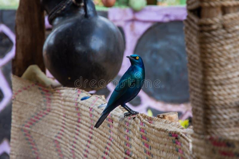 Beautiful Greater blue-eared starling bird, Ethiopia. Wildlife, nature, feather, animal, african, beak, yellow, eyes, fauna, fence, south, birds, avian stock photos