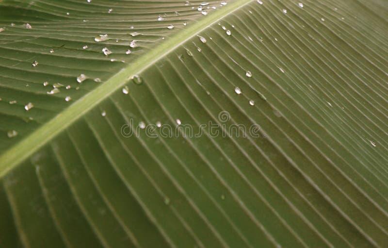 Beautiful green banana leaves and water droplets royalty free stock image
