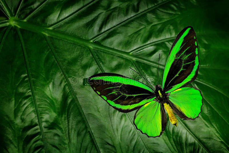 Beautiful green and black butterfly. Ornithoptera euphorion, the Cairns birdwing, sitting on green leaves, north-eastern Australia. Tropic insect in the nature stock photo
