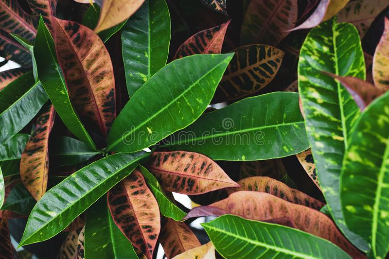 Beautiful green and brown elongated large tropical leaves intertwined. Contrast background royalty free stock photo